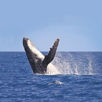 Whale-watching (July-October)