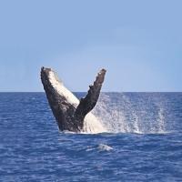 Wale-Beobachten